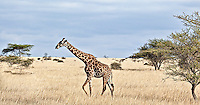 Lone giraffe, giraffa camelopardalis, walking in profile across the plains, Kenya, Africa (photo by Wildlife Photographer Matt Considine)