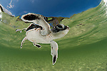 Baby green turtle (Chelonia mydas) hatchling swimming to the sea still in the shallows of the beach.