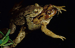 Common Toads Mating, Bufo Bufo, pond, water, pair in amplexus. .United Kingdom....