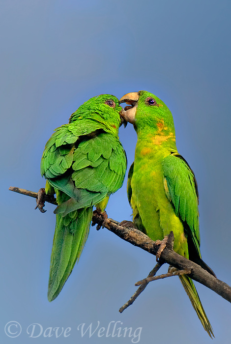 566700075v a wild pair of green parakeets green parakeets aratinga holochlora preen and interact while perched in a tree in laredo webb county texas united states