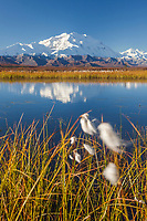 Denali reflects in a small kettle pond in the autumn tundra, cotton grass grows on the edge of the pond, Denali National Park, Alaska.