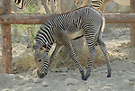 Young grevy's zebra at the Living Desert Reserve