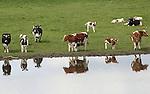 Foto: VidiPhoto<br /> <br /> HUISSEN - Melkkoeien genieten dinsdag met hun kalfjes in een weiland bij Huissen in Gelderland. Waar veel melkveehouders uit praktische redenen kalfjes na hun geboorte direct apart zetten, laat deze veehouder ze bij moeder in de wei. Ondanks allerlei stimulerende maatregelen van melkfabrikanten met onder andere weidegangtoeslag, is de verwachting dat koeien verhoudingsgewijs steeds vaker op stal komen te staan. Door de afschaffing van het melkquotum stijgt het aantal melkkoeien in 2020 naar zo'n 1,6 miljoen, denkt onderzoeksbureau Alterra van de Wageningse Universiteit. Daarvan zal slechts iets meer dan de helft naar buiten gaan, mede vanwege de uitbreiding van het aantal megastallen. Veel boeren hebben te weinig grond om hun koeien naar buiten te doen. Milieudefensie pleit daarom voor ruilverkaveling, het verhogen van de weidegangpremie door zuivelbedrijven en een verplichte weidegang door overheden. Door de gestegen melkproductie wordt de komende maanden opnieuw een daling van de melkprijs verwacht. Het herstel van de melkmarkt wordt pas in de tweede helft van 2015 verwacht.