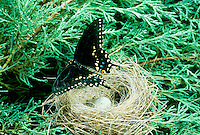 Eastern black swallowtail butterfly, Papilio polyxenes, perches on nest with one egg in evergreen tree