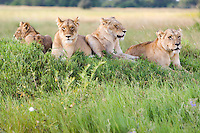 Group of juvenile African lions (Panthera leo) resting in the grass, Botswana.