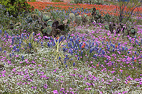 Spring Bluebonnets, Pink Phlox and Indian Paintbrush in Texas Hill Country