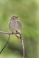 570500007 a wild greater pewee contopus pertinax flutters its wings while sitting on a branch in rosy canyon campground mount lemmon tucson arizona united states
