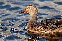 Close photo of a female Mallard duck on Currituck sound.