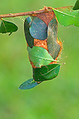 Giant Silkmoth cocoon (Attacus lorquini), Philippines