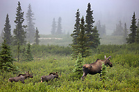 Cow moose and spring calves travel the taiga of Denali National Park, interior, Alaska.