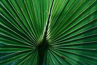 Saw Palmetto (Serenoa repens), Sebastian Inlet State Park, Sebastian, Florida, US
