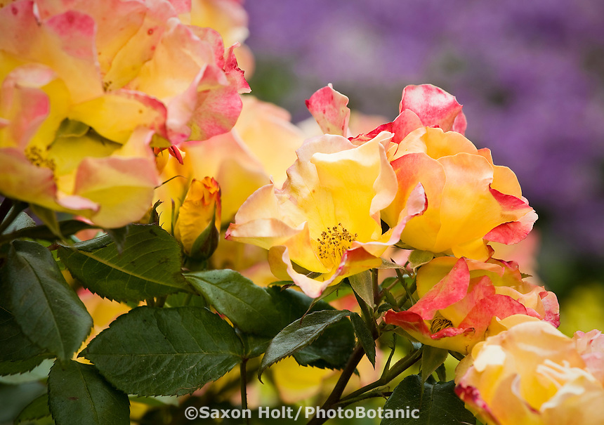 Rose 'Flutterby' flowers in cottage garden.