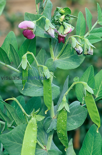 Garden Pea flowers and pods (Pisum sativum), genetic traits studied by Gregor Mendel.