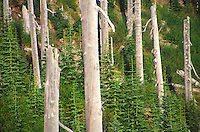 Standing Dead Forest on Strawberry Mountain, Mt. St. Helens National Volcanic Monument, Washington, US
