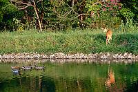 Fawn turns in surprise at mallard ducks swimming in lake