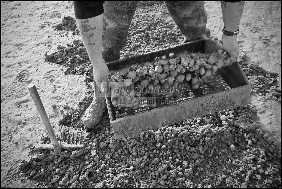 Europe/France/Picardie/80/Somme/Baie de Somme/Le Hourdel: ramassge des coques de La Baie de Somme, à la Pointe du Hourdel -