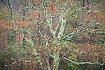 Spring maple tree in bloom, Blue Ridge Parkway
