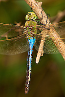339430019 a wild male common green darner dragonfly anax junius perches on a branch at santa ana national wildlife refuge rio grande valley texas united states