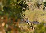 Sleeping lions in the shade in Tsavo  East National Park, Kenya