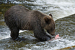 Young cub eating salmon that his mom caught for him