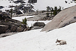 A single mountain goat rests in the snow in Washington's Enchantment lakes area.