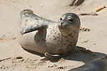 A harbor seal lays on the sand on Children's Pool beach on the coast of La Jolla, California.