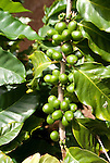 Hawaii: Molokai, coffee beans experienced during Coffees of Hawaii tour..Photo himolo241-72457..Photo copyright Lee Foster, www.fostertravel.com, lee@fostertravel.com, 510-549-2202