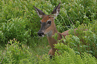 deer in meadow grass