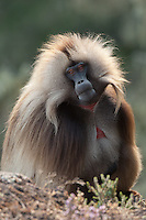 Male Geladas with its characteristic mane. Simien Mountains N.P., Ethiopia