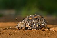 481150053 a wild texas tortoise gopherus berlandieri near a small pond in the rio grande valley of south texas