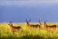 693658015 wild common waterbuck kobus ellipsiprymnus standing in tall grass at sunset in ngorogoro crater reserve in tanzania