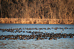 Columbia Ranch, Brazoria County, Damon, Texas; a massive flock of American Coot birds swimming in formation on the surface of a lake in late afternoon sunlight