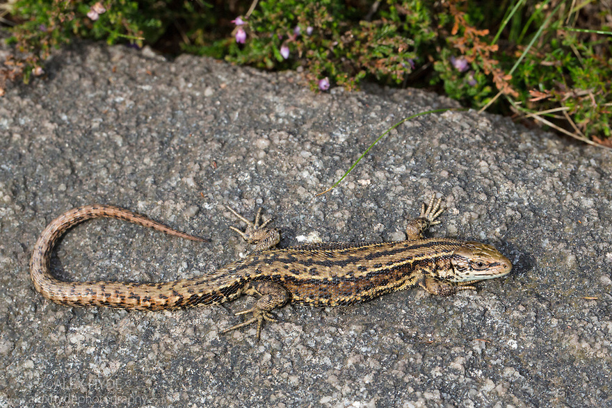 Common Lizard Lacerta Vivipara Peak District Alex Hyde