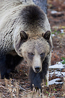 Grizzly bear in Yellowstone National Park, Wyoming