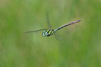 339550018 a wild male malachite darner remartinia luteipennis in flight over a small stream at empire cienega natural conservation area pima county arizona