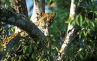 A young female leopard watches from a Lunuwaraniya tree in Yala National Park.