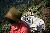 Workers pick first flush tea leaves at the Makaibari Tea estate, in Darjeeling, India.