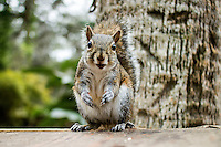 A squirrel eats nuts in a backyard in Holly Hill, Florida in February 2015.   (Photo by Brian Cleary/ www.bcpix.com )
