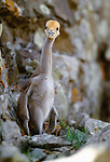 Demoiselle crane chick, Tov Province, Mongolia