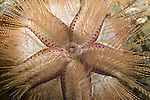 Anilao, Philippines; detail view of the radial symmetry of a spiny sea urchin