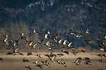 Mallard ducks in flight after eating grain in the wetlands