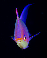 Purple Anthias, Pseudanthias tuka, Great Barrier Reef, Australia, Coral Sea, Pacific Ocean