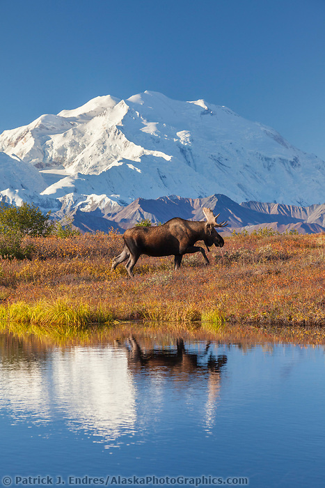 Bull moose reflection in a small kettle pond with the summit of Denali in the distance, Denali National Park, Alaska.