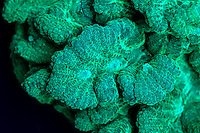 An image of Pectinia species coral in Long wave UV Light showing green Fluorescence.  This species of coral will glow brightly when illuminated in ultra-violet(UV) light.  Each head of coral is formed by a colony of genetically identical polyps which secrete a hard skeleton of calcium carbonate; this makes them important coral reef builders. It is thought the glow may attract symbiotic algae, or protect the coral from the intense ultraviolet light of the Sun in shallow water. This image is part of a series showing the identical specimen in white light and UV light.