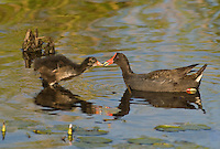559500015 common gallinules gallinula galeata or common moorhens gallinula chloropus wild texas.Adult Feeding Chicks.Anahuac National Wildlife Refuge, Texas