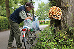Foto: VidiPhoto<br /> <br /> HEMMEN - Een enorme zwavelzwam (Laetiporus sulphureus) in het dorpje Hemmen in de Betuwe is op dit moment een enorme publiekstrekker aan het worden. Doordat het gevaarte aan een eik langs de doorgaande weg groeit, valt de boskip (zoals de Engelsen de zwam noemen) flink op. Een zwavelzwam kan wel 10 kilo zwaar worden. De textuur en smaak lijken op kip, vandaar de bijnaam. Door de vele regenbuien van de laatste tijd, springen de paddestoelen op dit moment haast letterlijk uit de grond. Zwavelzwammen veroorzaken grote schade aan eiken doordat de stam van de boom langzaam wordt uitgehold.
