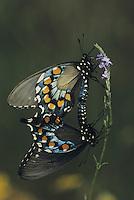 Pipevine Swallowtail (Battus philenor),pair mating, Sinton, Coastel Bend, Texas, USA