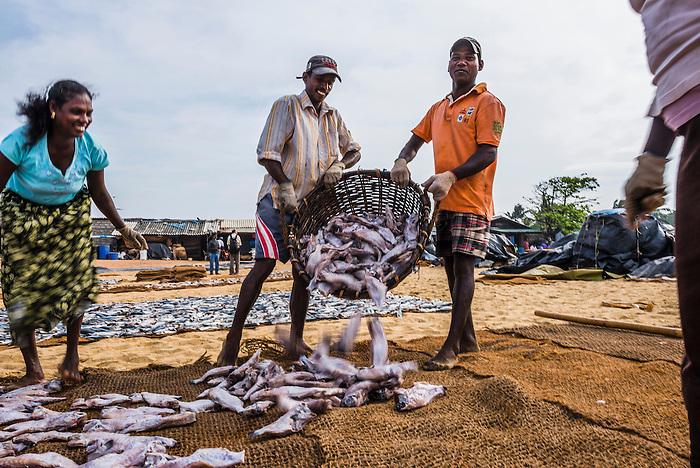 Negombo fish market fishermen working at lellama fish for Williams fish market