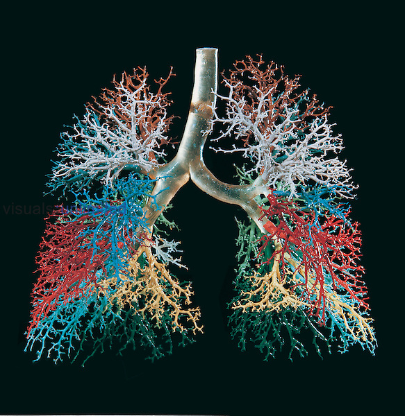 Resin cast of the human lungs and bronchial tree. The airways of each lobe of the lung have been cast in a different color. The lungs take in around 0.5 liters of air in every breath, with around 12 breaths per minute at rest. The lungs have a large network of airways, which gives them a huge surface area for oxygen to diffuse into the blood and carbon dioxide to diffuse out.