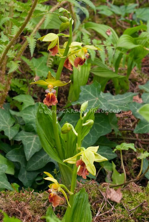 Calanthe tricarinata Ebine Hardy Orchid